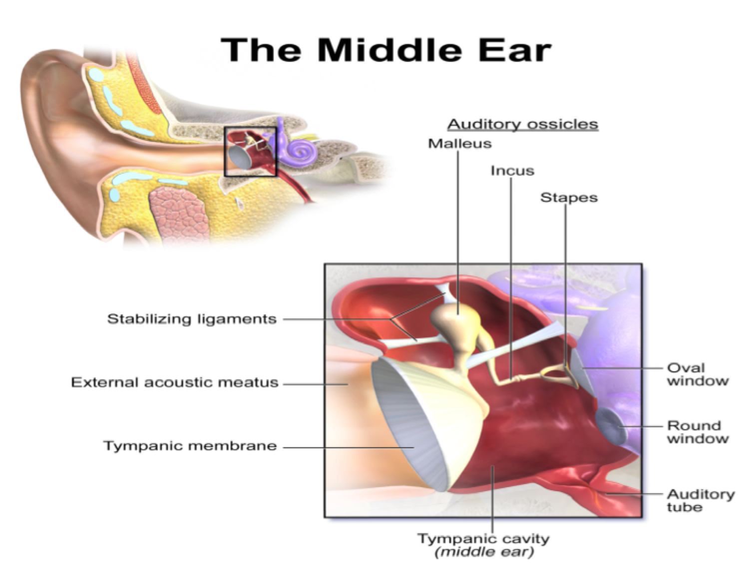Hearing impairments, presbycusis and the possible therapeutic ...