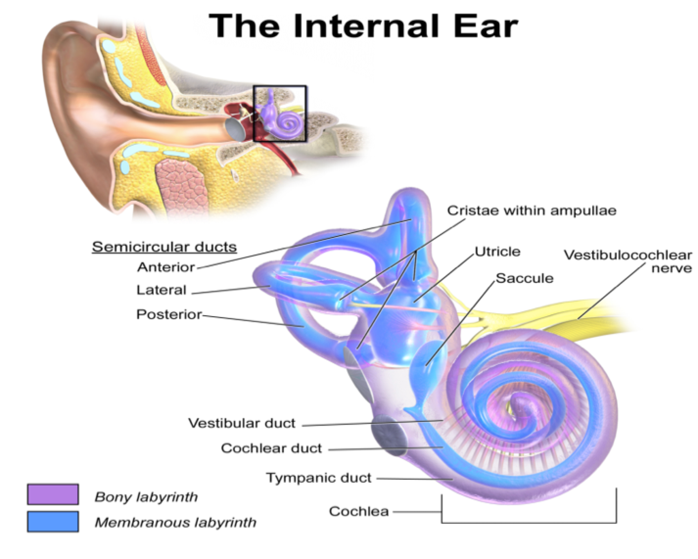 the inner ear The inner ear click on area of interest the small bone called the stirrup, one of  the ossicles, exerts force on a thin membrane called the oval window,.