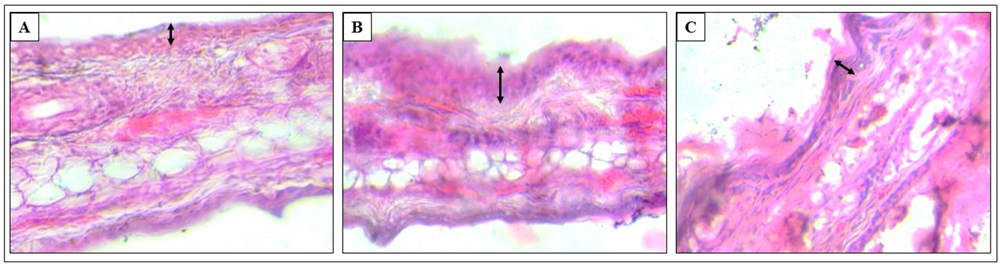Figure 10 Histology of ear tissue
