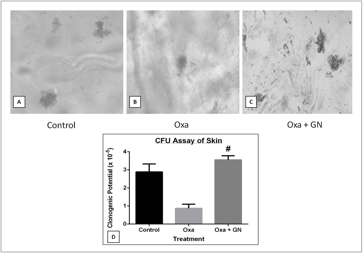 Figure 8 Effect of GN on the clonogenic potential of skin cells as observed under FLoid Cell Imaging Station at 20X